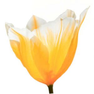 Tulip Types - Fosteriana Group (F) - Tulips Division