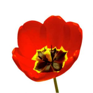 Species or Botanical Group - Tulips Division